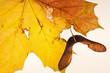 Maple Leaf  and Seed