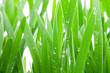 Wet Grass Macro.
