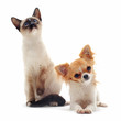 chihuahua et chat siamois