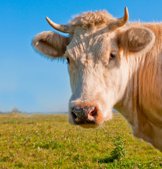 Portrait of a light brown cow in a Dutch meadow