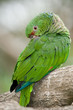 Colorful Parrot Sleeping
