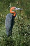 Goliath Heron (Ardea goliath) at lake Naivasha poster
