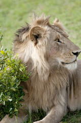 Young lion in proflie looking alert.Masai Mara, Kenya.