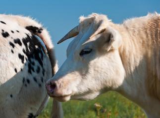 Closeup of a white cow in a Dutch meadow