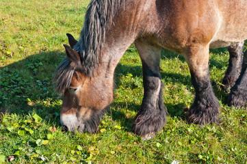 Closeup of an eating Belgian brown horse