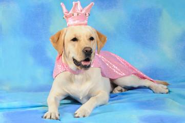 Labrador con corona