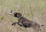 braco cazando codornices