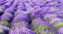 color lavender field