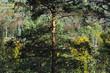 pin parasol, forêt d'Ile de France