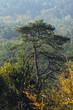 forêt d'Ile de france, pin parasol