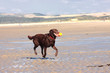 dog playing ball on the beach in summer, chien