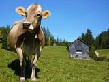 Fototapety Kuh auf der Alm