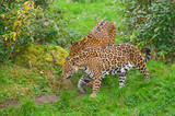 Two jaguars (O. Onca) walk