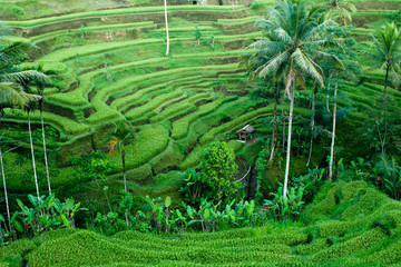 rice paddy field with coconut trees