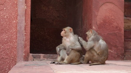 Rhesus Macaque monkeys grooming at Agra Fort