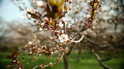 White Flowery Tree Pan Around