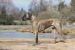 dogue allemand de profil près d'un plan d'eau