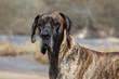 portrait de dogue allemand