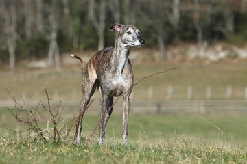 beautiful spanish greyhound outside