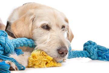 mixed breed Labrador