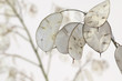 Lunaria annua - Silberblatt