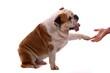 Hund englische Bulldogge gibt Pfötchen