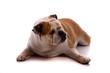 Hund englische Bulldogge liegend zwinkert mit Auge