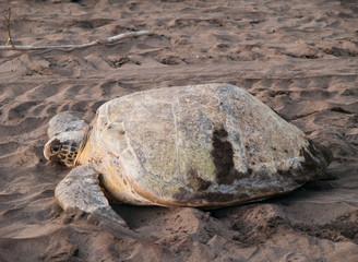 Sea turtle in Tortuguero National Park, Costa Rica
