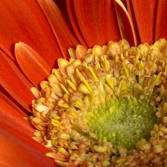 gerbera flower closeup