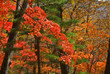 Autumn maples 12
