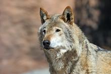 Portrait of Wolf