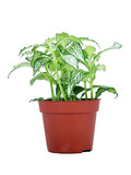 Variegated Green and White Potted Plant
