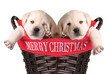 Funny Christmas puppies