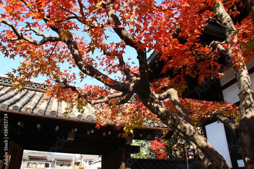 Fall in Japan: red maple trees in a temple (Kyoto)