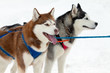 sled dogs with blue eyes