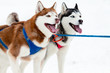 pair of sled dogs