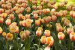 Garden full of tulip flowers