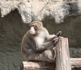 Japanese macaque sits on a log
