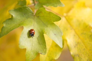 Solitary Ladybird on Autumn Leaf