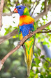 Australian rainbow lorikeets-Australia beautiful birds on branch