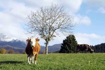 mucche in Cansiglio