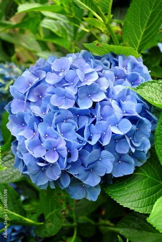 Spoed canvasdoek 2cm dik Hydrangea Huge Blue Hydrangea