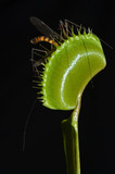 carnivorous plant with prey in the black background poster