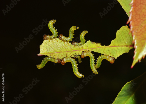 caterpillars team eating a leaf on the dark background
