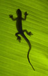 Silhouette of a gecko lizard on a green leaf