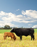 mother and baby cow Australian bred beef cattle poster