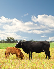 mother and baby cow Australian bred beef cattle