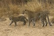 Wild female leopard (Panthera pardus) and cub