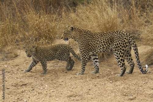 Canvas Luipaard Wild female leopard (Panthera pardus) and cub