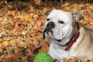 Bulldogge im Laub - Bulldog in Fall